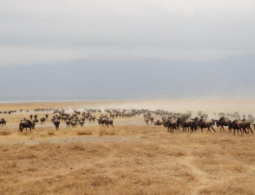 Wildebeest Migration In Tanzania and Kenya