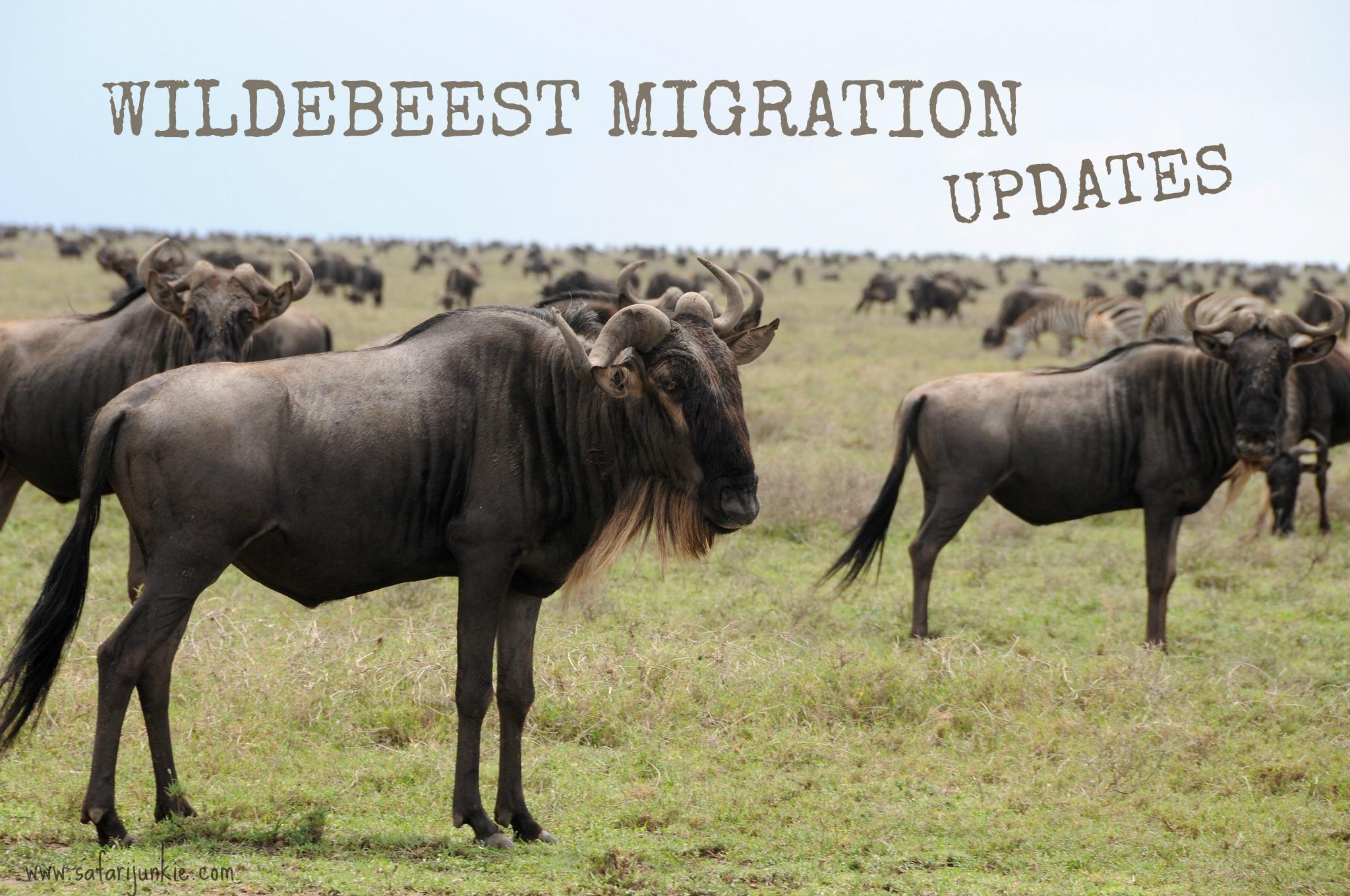wildebeest migration updates