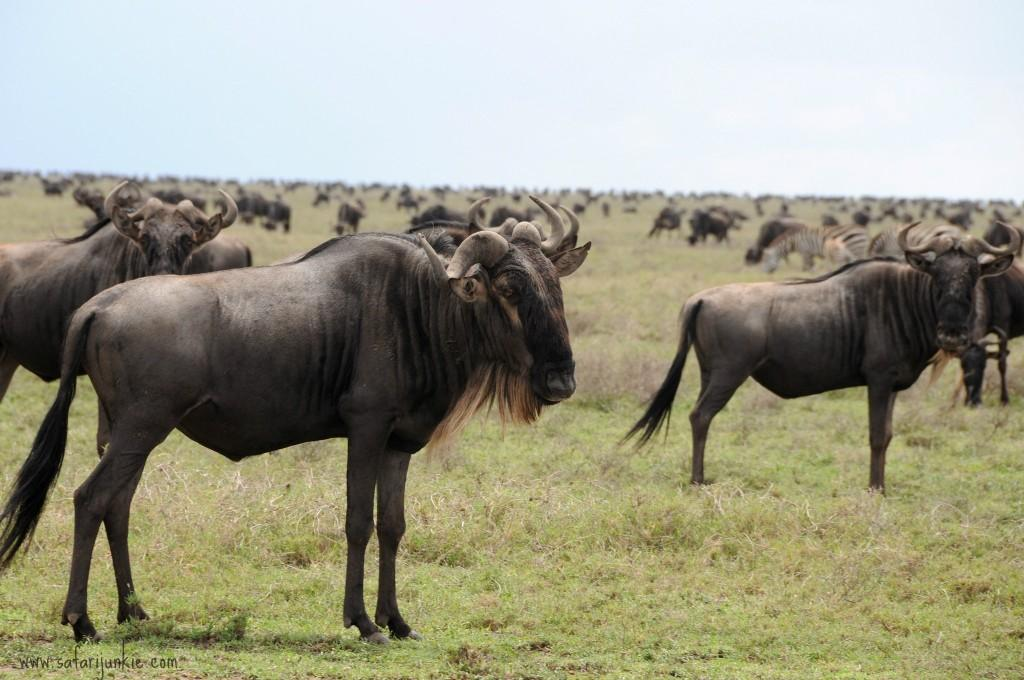wildebeest migration safari tanzania