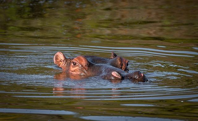 wildlife hippos akagera safari rwanda