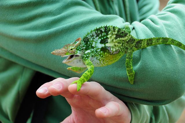 chameleon on usambara hiking tour