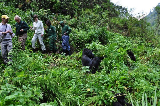 gorilla trekking rwanda close to silverback in volcanoes national park