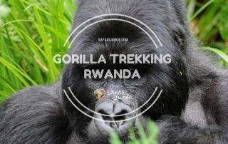 mountain gorilla trekking in rwanda volcanoes national park