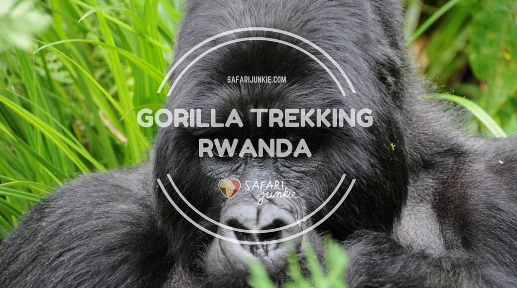 mountain gorilla trekking in rwanda volcanoes national park