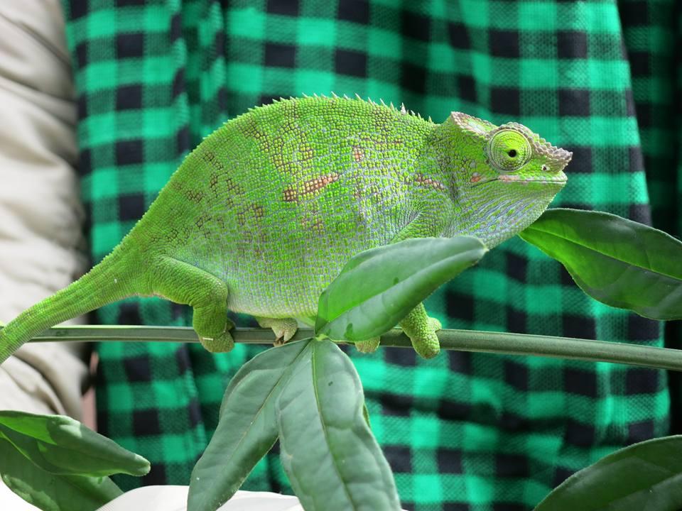 chameleons tazania usambara mountains hiking