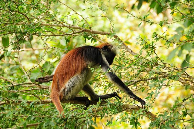 red colobus monkey zanzibar jozani forest tour