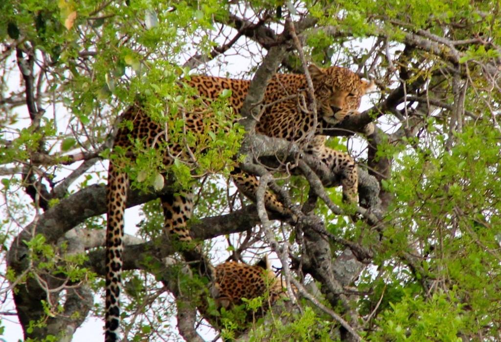 wildlife Masai Mara kenya leopard on a tree