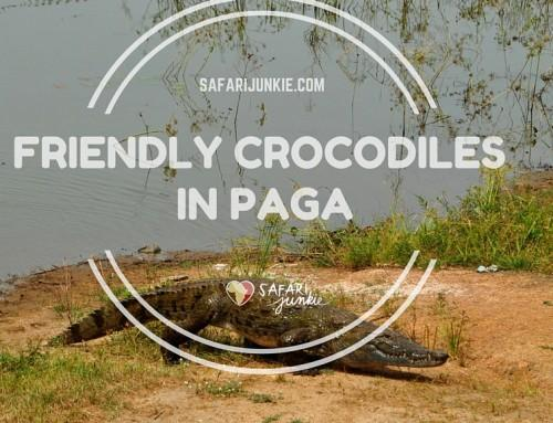 Friendly Paga Crocodiles in Ghana