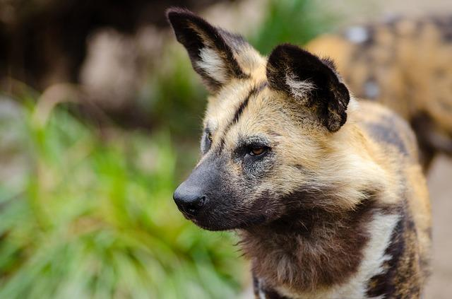 tanzania one week itineray ruaha safari wild dogs
