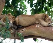 uganda-safari-lions-trees-Queen-Elisabeth