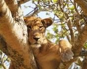 ishasha-safari-lions-in-the-trees