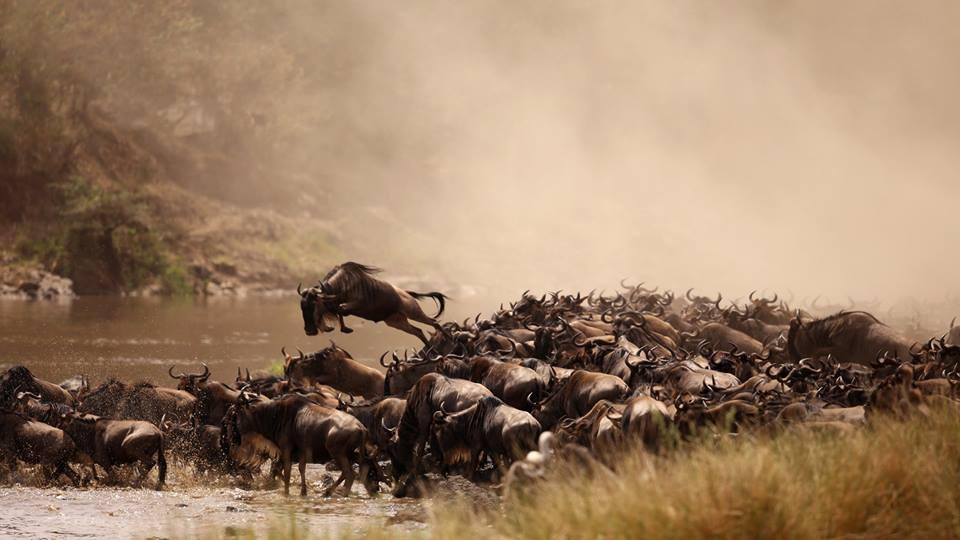 safaris tanzania kenya mara river crossing timing