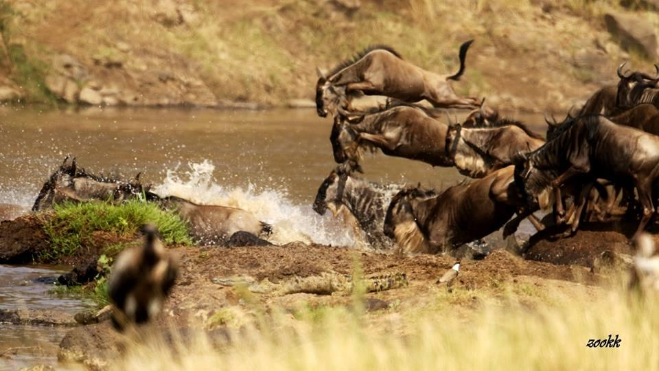 wildebeest crossing mara river serengeti safari