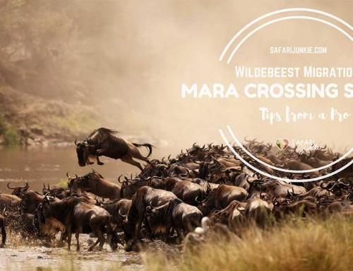 Wildebeest Migration Mara Crossing Safari