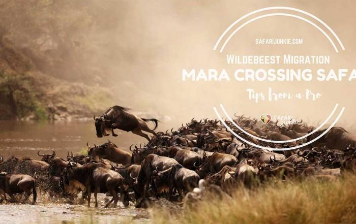 wildebeest-migration-kenya-tanzania-mara-river-crossing-safari-tips
