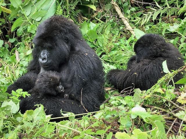 Best African Destinations Rwanda Gorilla Trekking