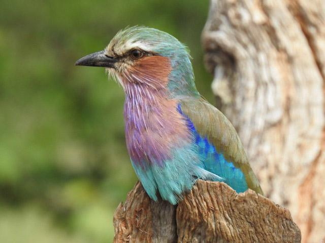 lilac-breasted-roller-kruger safari southafrica