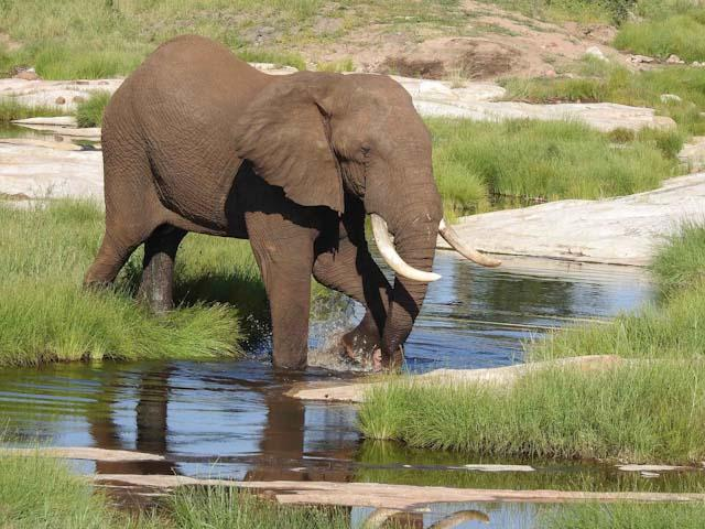 red-elephant-in-river-kruger-southafrica